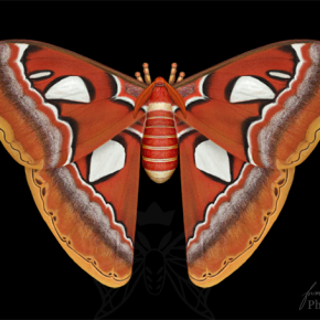 Atlas Moth (Attacus atlas)