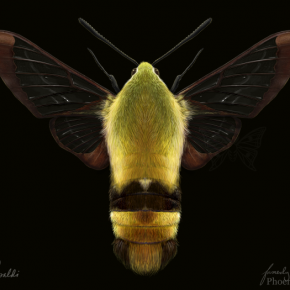 Snowberry Clearwing Moth (H. diffinis)