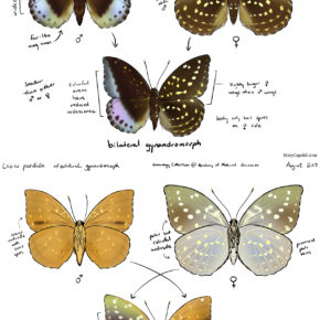 Common Archduke (L. pardalis) Study