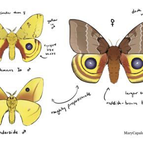 Io Moth Study